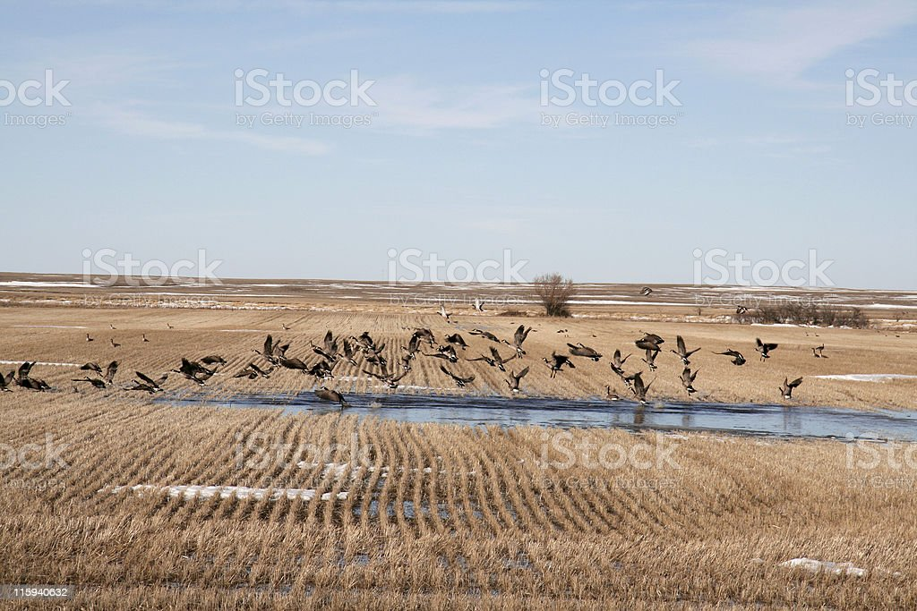 Geese in Spring royalty-free stock photo