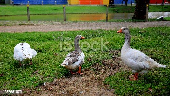 mata de sao joao, bahia / brazil - september 24, 2020: geese are seen at Parque da Cidade in Mata de Sao Joao.