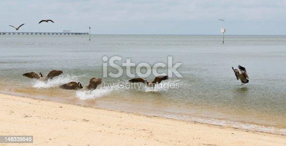istock Geese Landing at Fairhope Beach 148339545