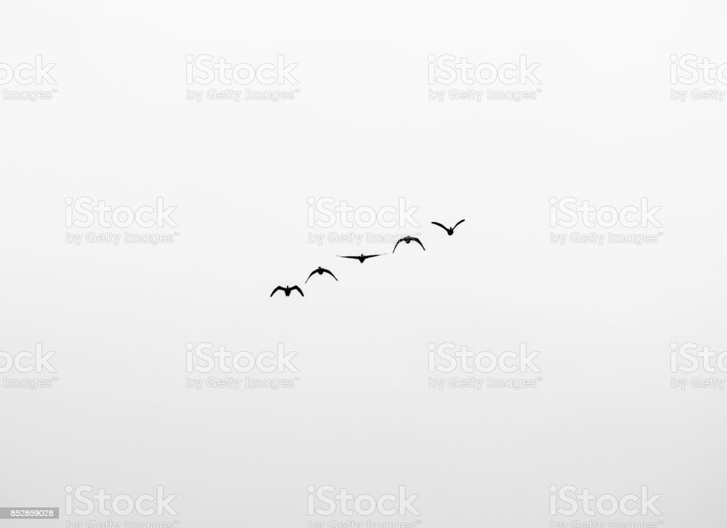Geese monochrome stock photo