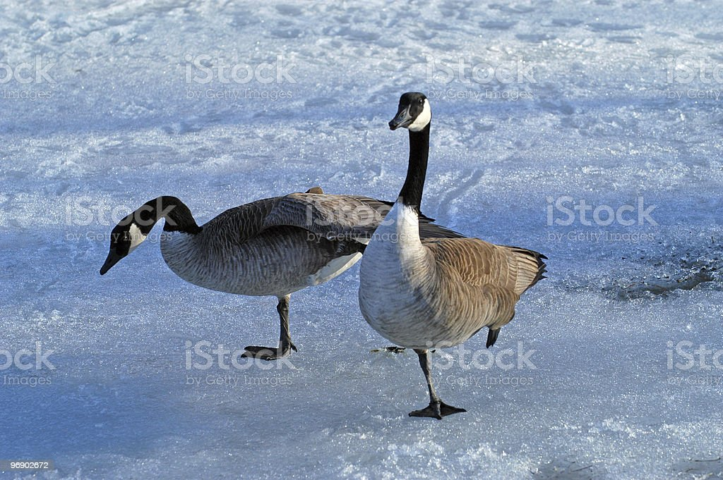 Geese on Ice royalty-free stock photo