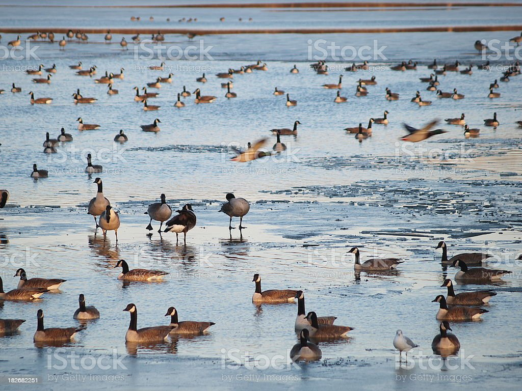 Geese on icy lake stock photo