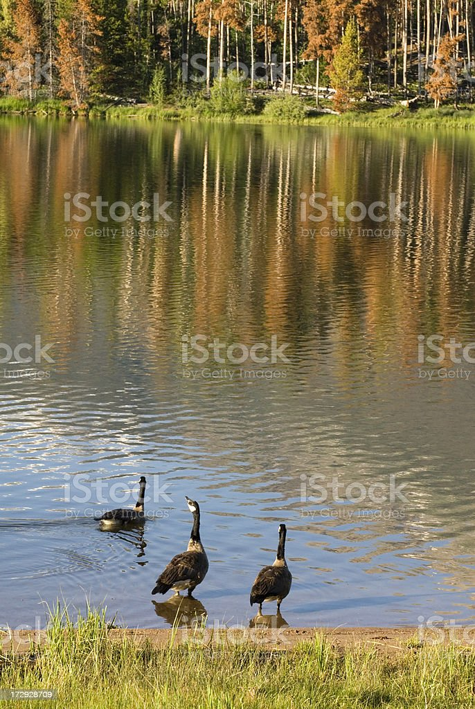 Geese on Lake Dillon royalty-free stock photo