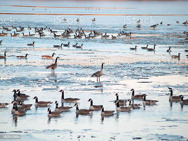 Photo of Geese on Lake Shawnee