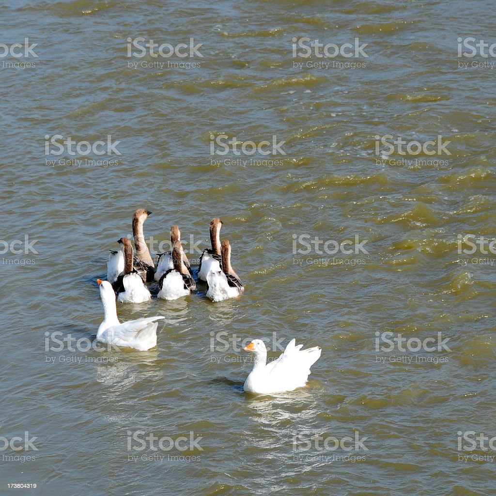 Geese on the river in morning royalty-free stock photo