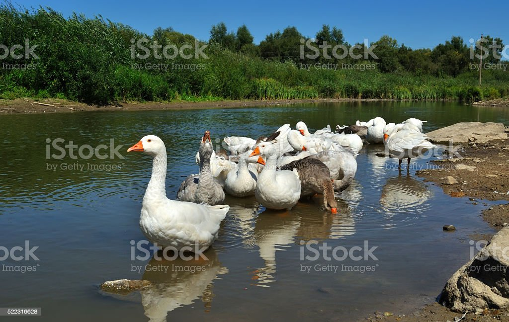 geese on the river stock photo