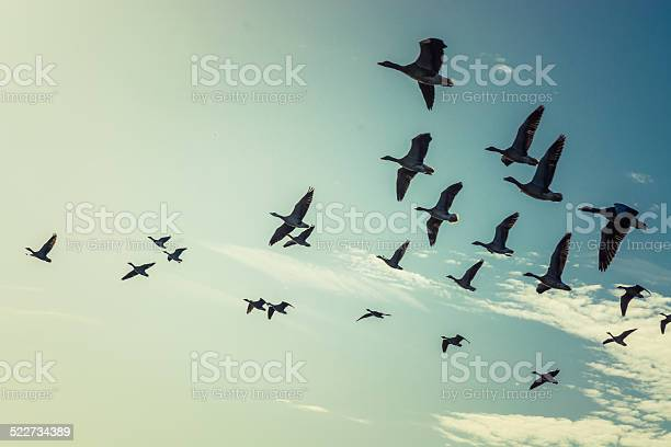 Geese picture id522734389?b=1&k=6&m=522734389&s=612x612&h=zromtmlekkbx wcbqhni7n0yy2u084yspwt5mvopibi=