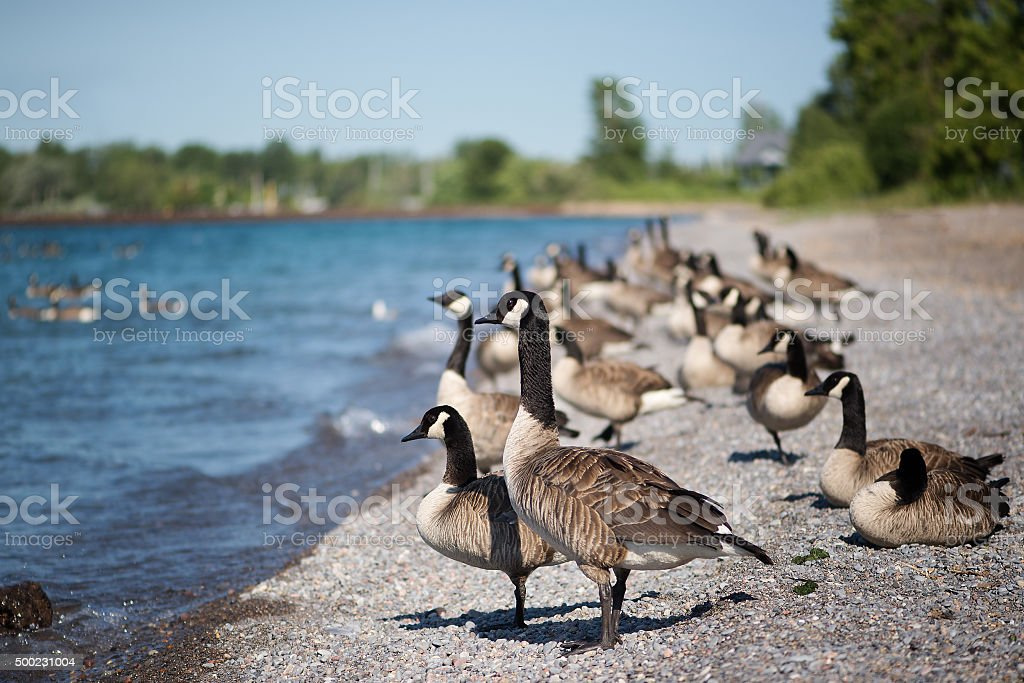 Geese Standing on the Beach stock photo