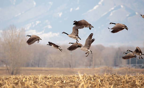 Geese starting in flight. Geese starting in flight from a large field. canada goose stock pictures, royalty-free photos & images
