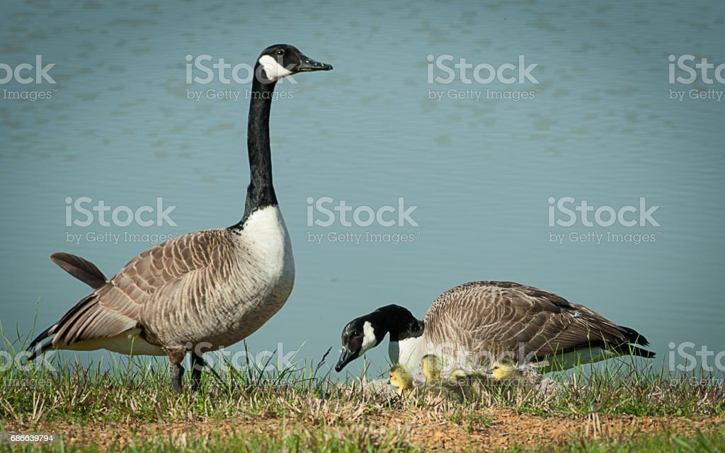 Geese Swans Ducks royalty-free stock photo