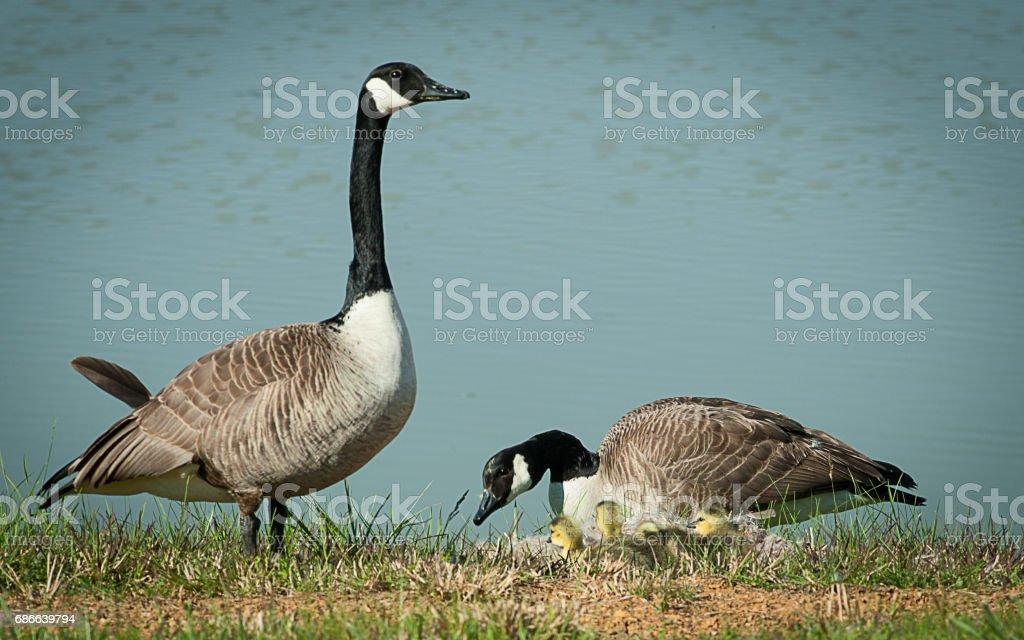 Geese Swans Ducks 免版稅 stock photo