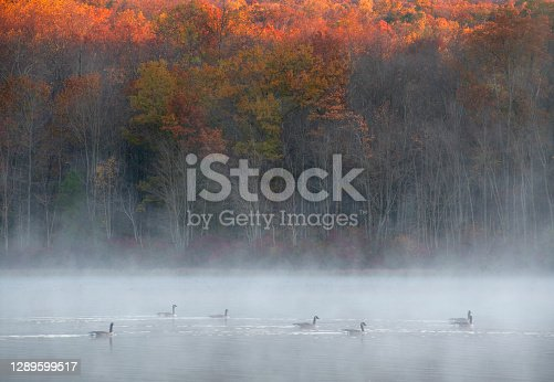 Geese swimming in Hopewell Lake in Autumn, French Creek State Park, Pennsylvania, USA