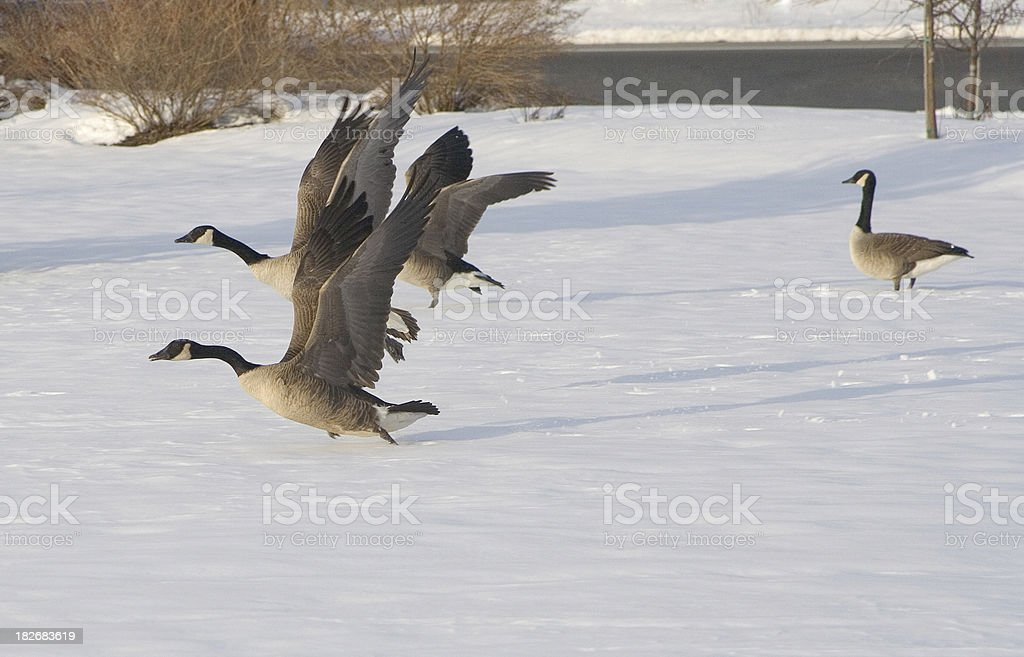 Geese Taking Off royalty-free stock photo