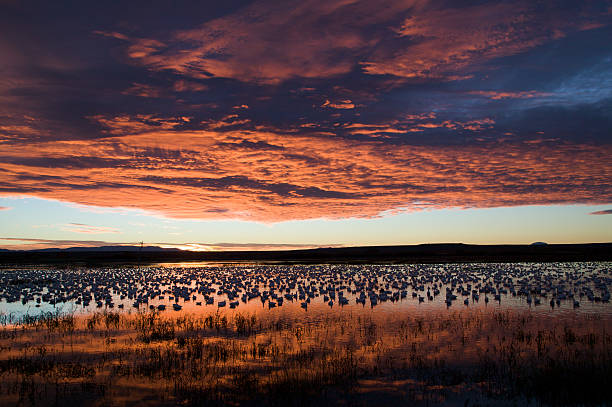Geese Wading in a Pond stock photo