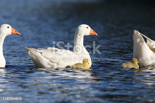 White Geese with baby goslings