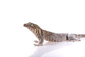 Madagascar gecko isolated on white background