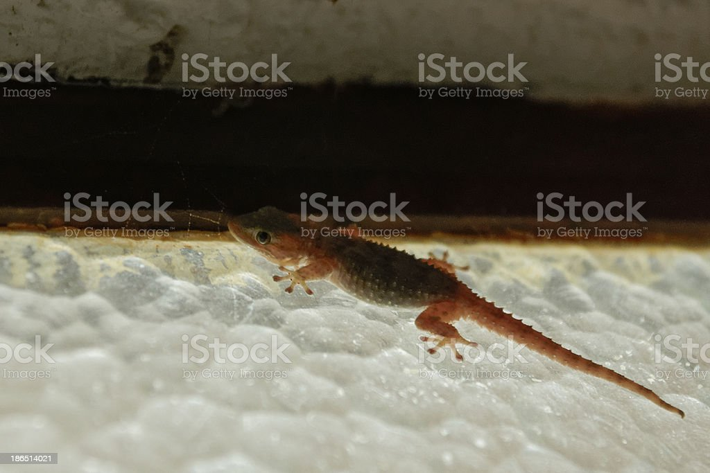Gekko royalty-free stock photo