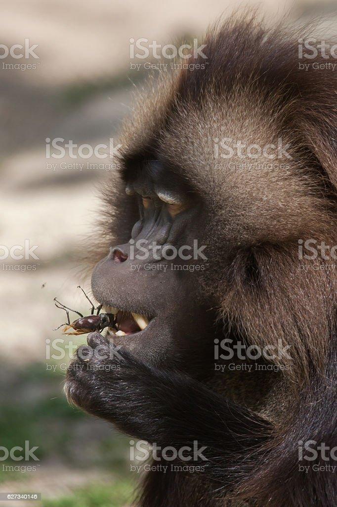 Gelada baboon (Theropithecus gelada) eating the stag beetle stock photo