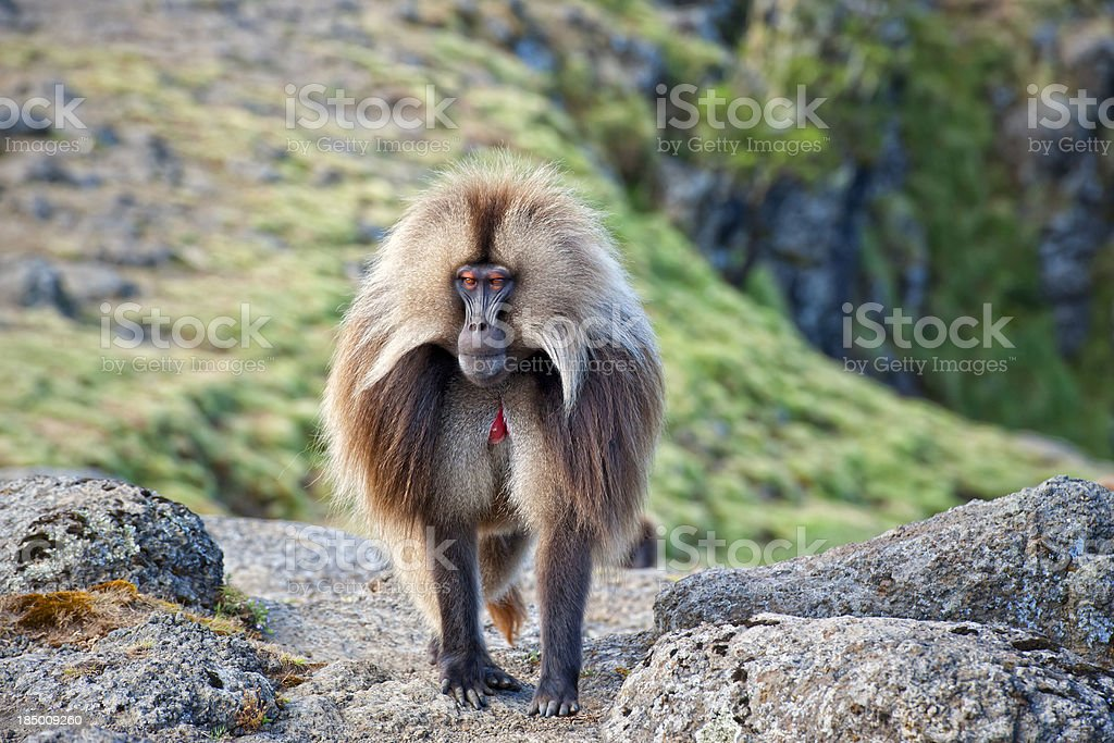 Gelada Baboon in the Simien Mountains stock photo