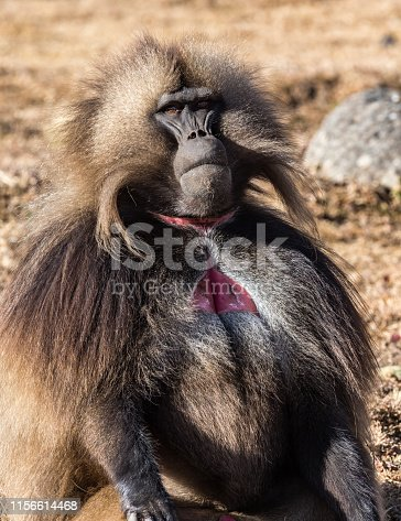 Gelada Baboon Theropithecus Gelada . Simien Mountains National Park. Geladas are great primates living in Ethiopia only. Africa.