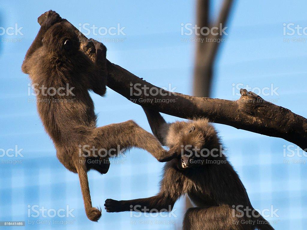 Gelada Baboons Fighting stock photo