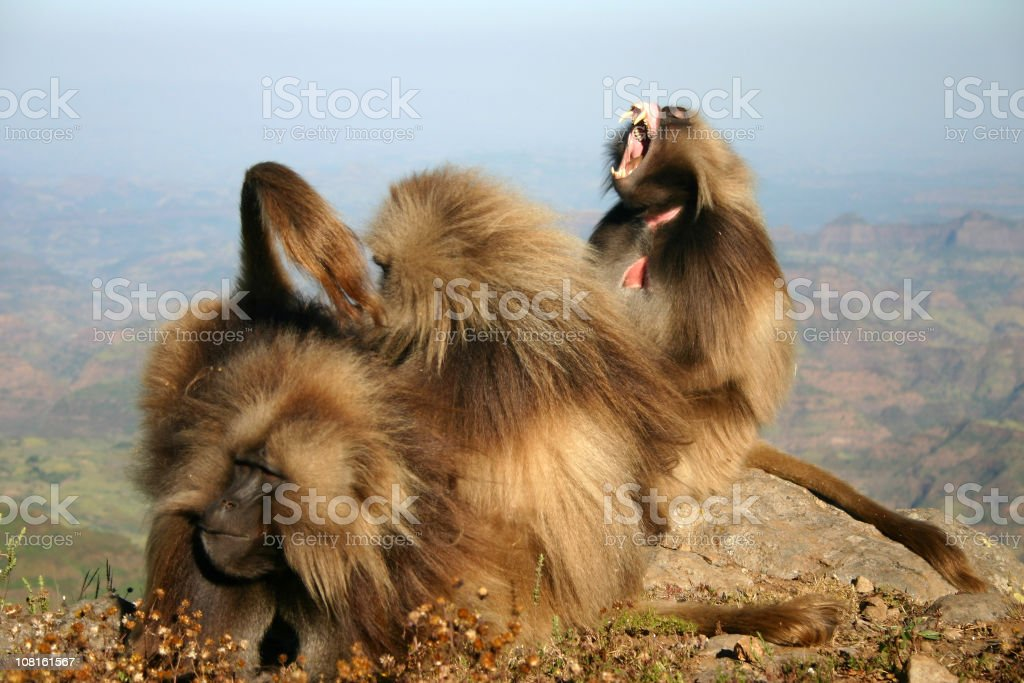 Gelada Baboons Grooming Each Other on Simien Mountain Top royalty-free stock photo