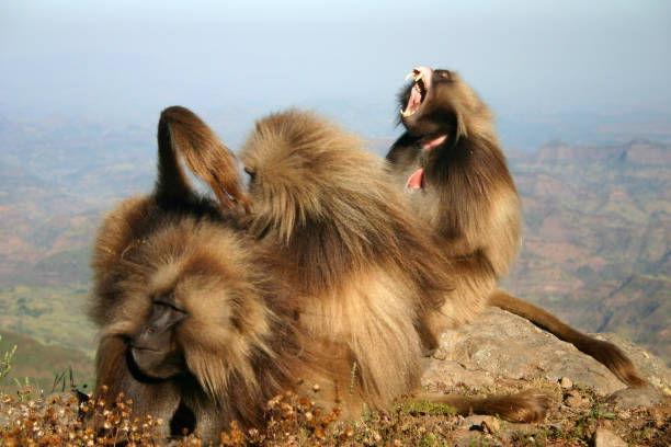 Gelada Baboons Grooming Each Other on Simien Mountain Top stock photo
