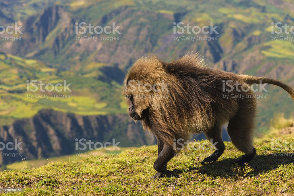 Gelada Baboons in Semien Mountains royalty-free stock photo