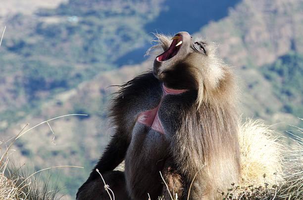 gelada monkey, or bleeding-heart monkey, in Ethiopian Highlands open mouth. stock photo