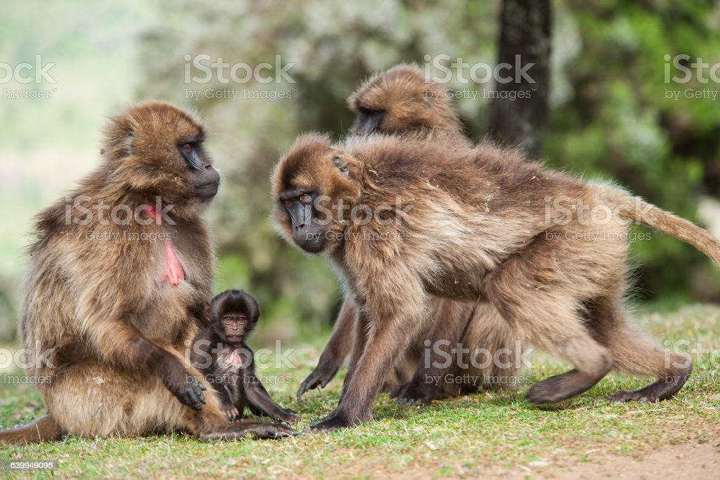 Geladas Baboons in the Simien Mountains stock photo