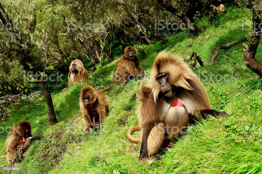 Geladas in the Siemen National Park stock photo