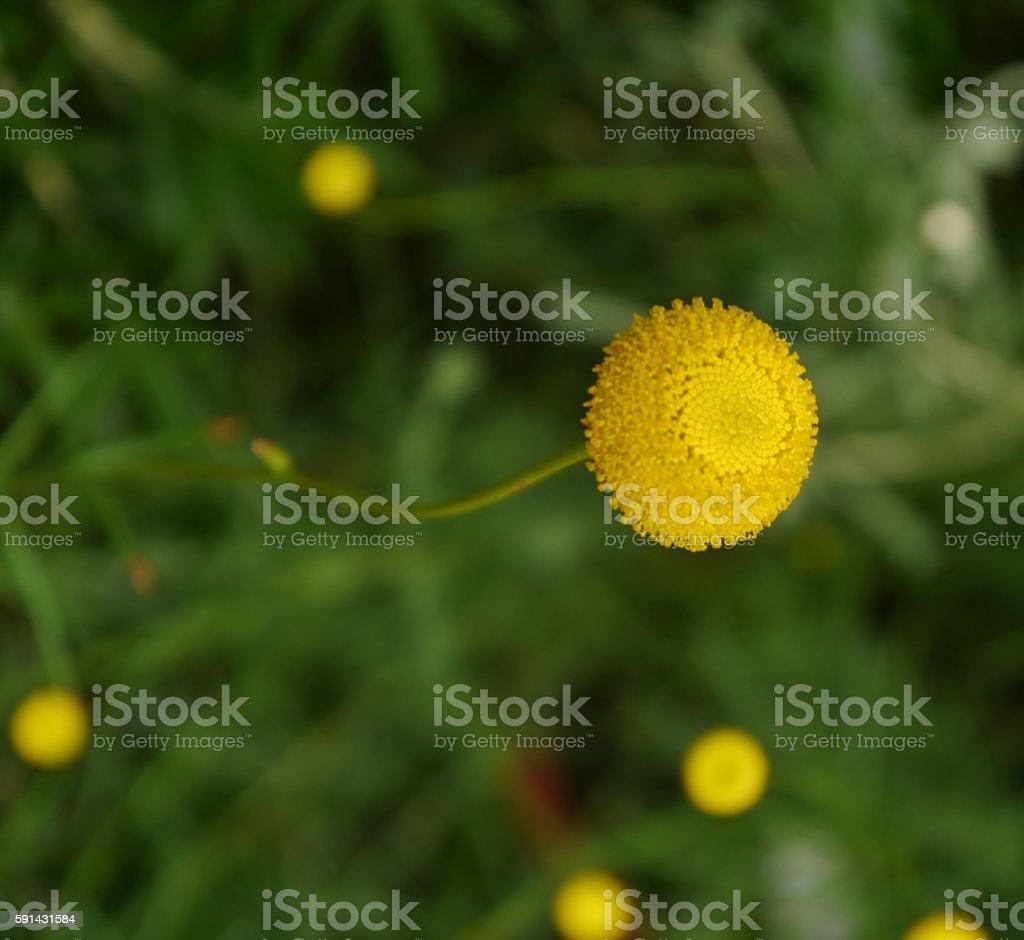 Yellow Blte  – Foto