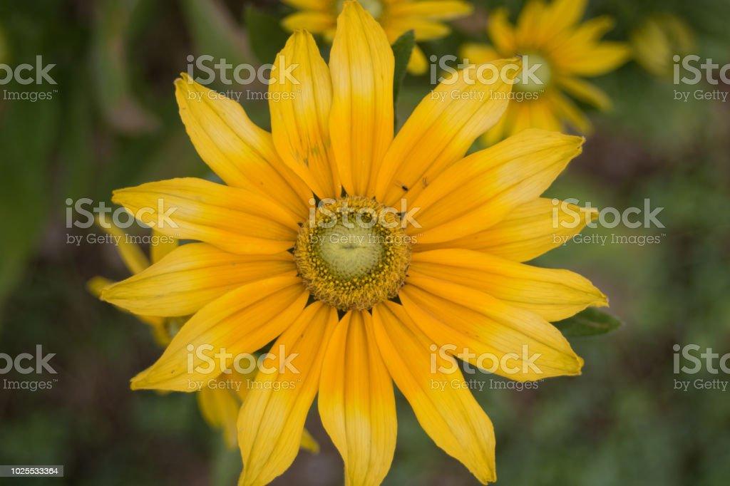 Gelbe Blume stock photo