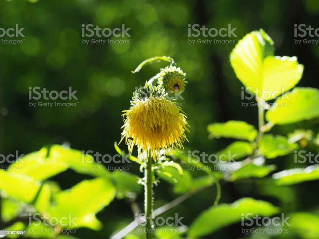 Gelbe Distel In Den Sterreichischen Bergen Yellow Thistle In The