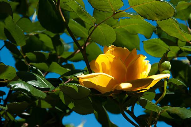 Yellow Rose – Foto