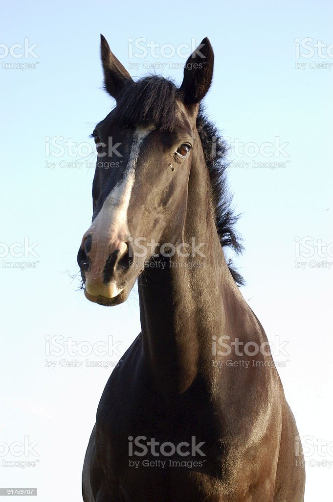Gelding Horse royalty-free stock photo