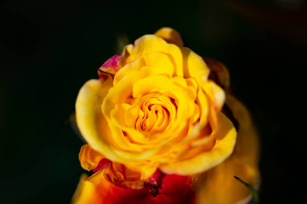 Gelebe gelebe Rose – Foto