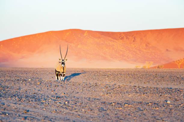 Gemsbock Oryx in Namib desert looking at camera with sand dune Gemsbok Oryx in Namib desert looking at camera with sand dune in the background lit by sunset. namib desert stock pictures, royalty-free photos & images
