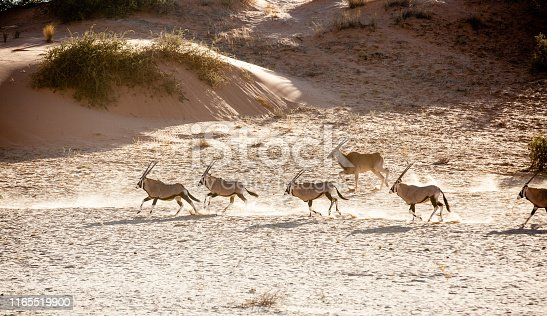 A group of gemsbok and eland antelope move across a sand dune in the Kgalagadi Trransfrontier Park in the Kalahari region of South Africa.