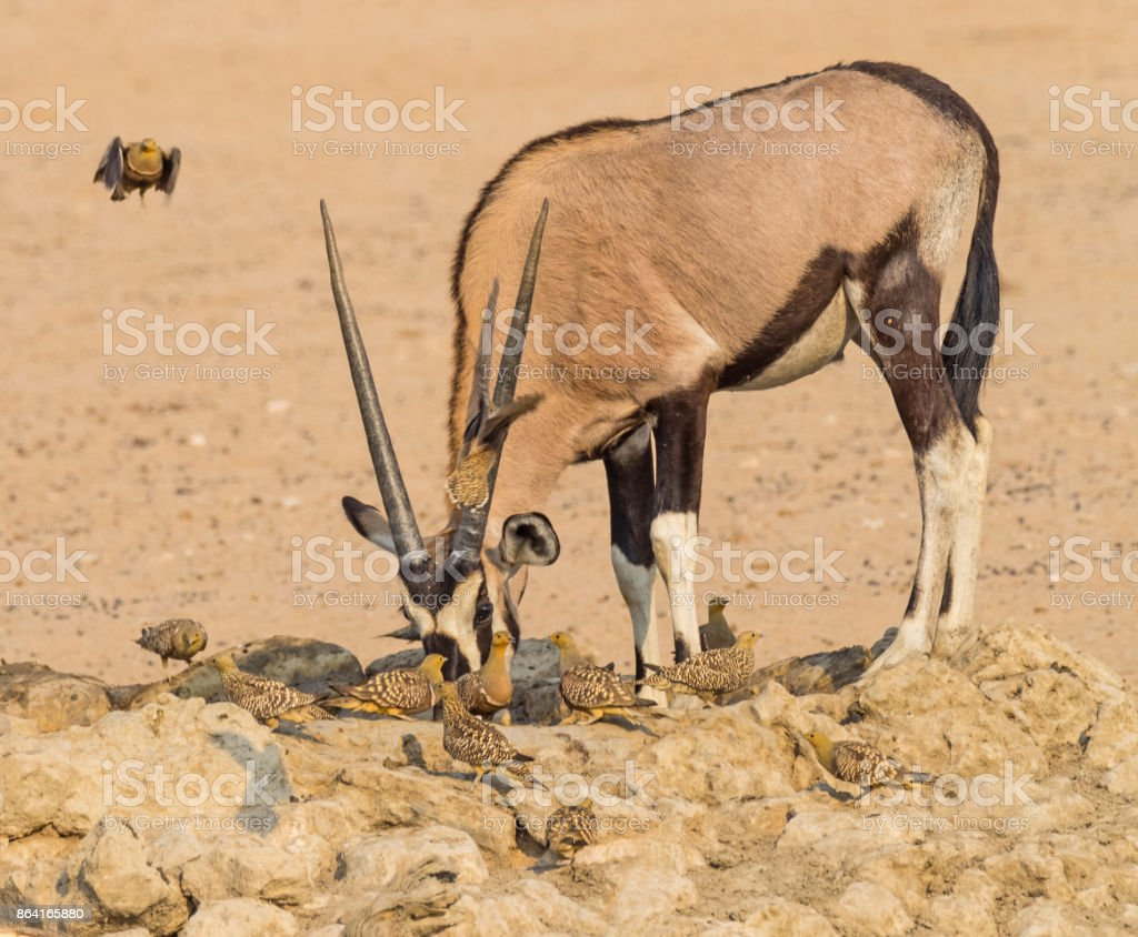 Gemsbok and Namaqua Sandgrouse royalty-free stock photo
