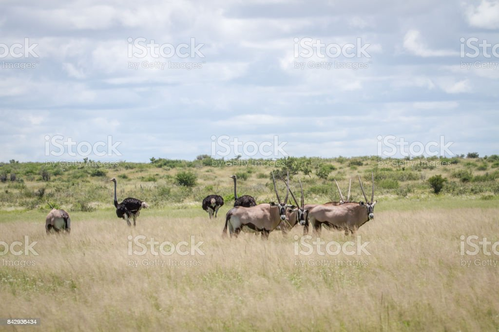 Gemsbok and Ostriches in the high grass. stock photo