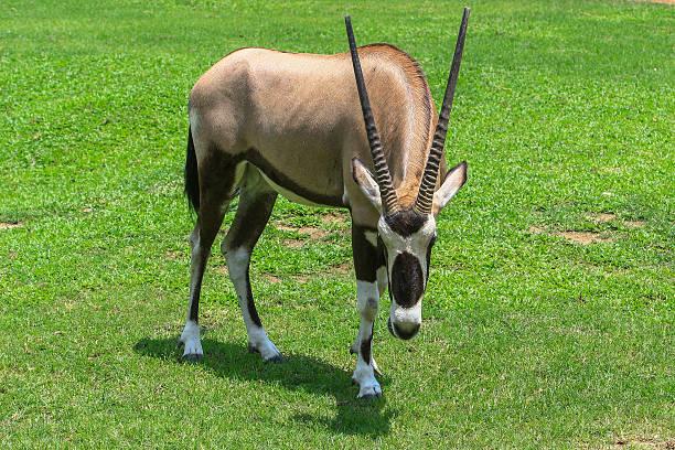 gemsbok antelope (oryx gazella) herbivore on green meadow - gemsbok green bildbanksfoton och bilder
