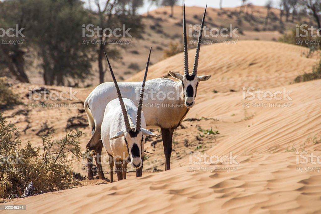 Gemsbok antelope 'Oryx' stock photo