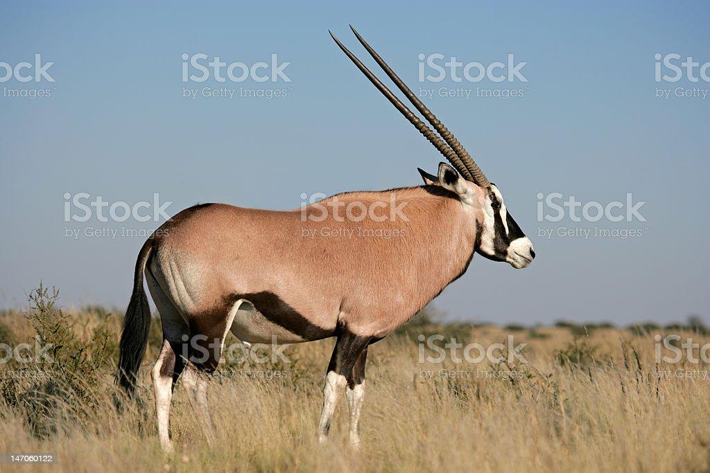 Gemsbok antelope stock photo