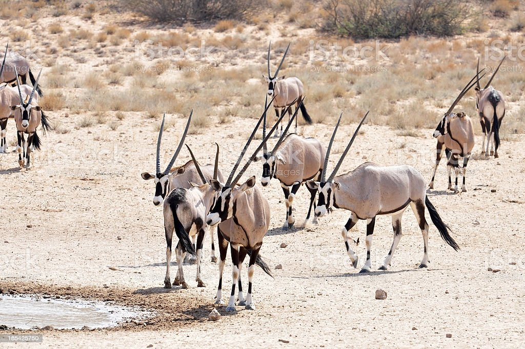 Gemsbok Antelope royalty-free stock photo