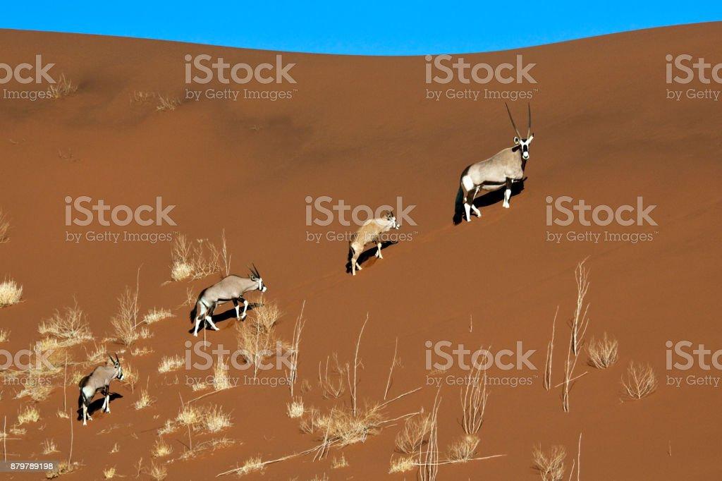 Gemsbok antelopes - Namib Desert - Namibia stock photo