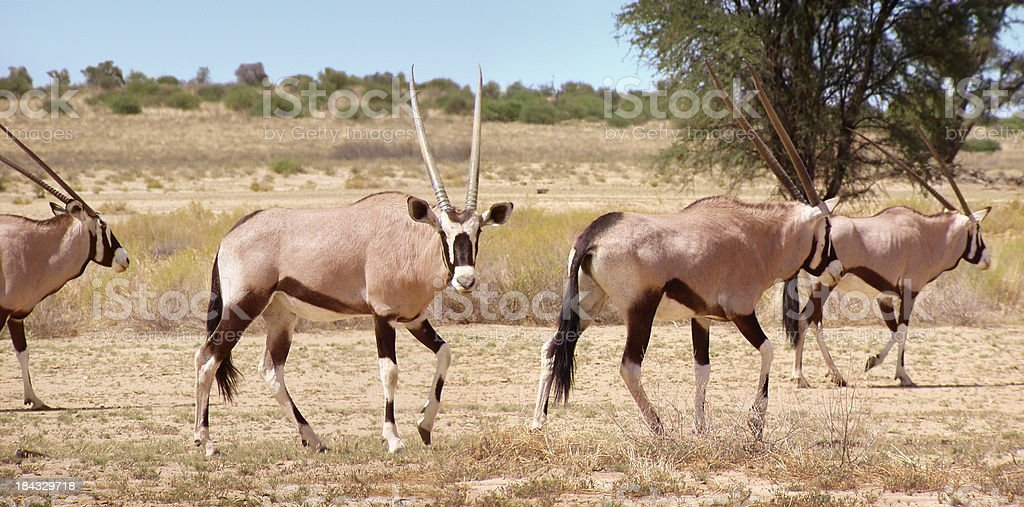 Gemsbok antelopes royalty-free stock photo