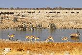 Gemsbok (Oryx gazella) at the waterhole - Namibia Africa