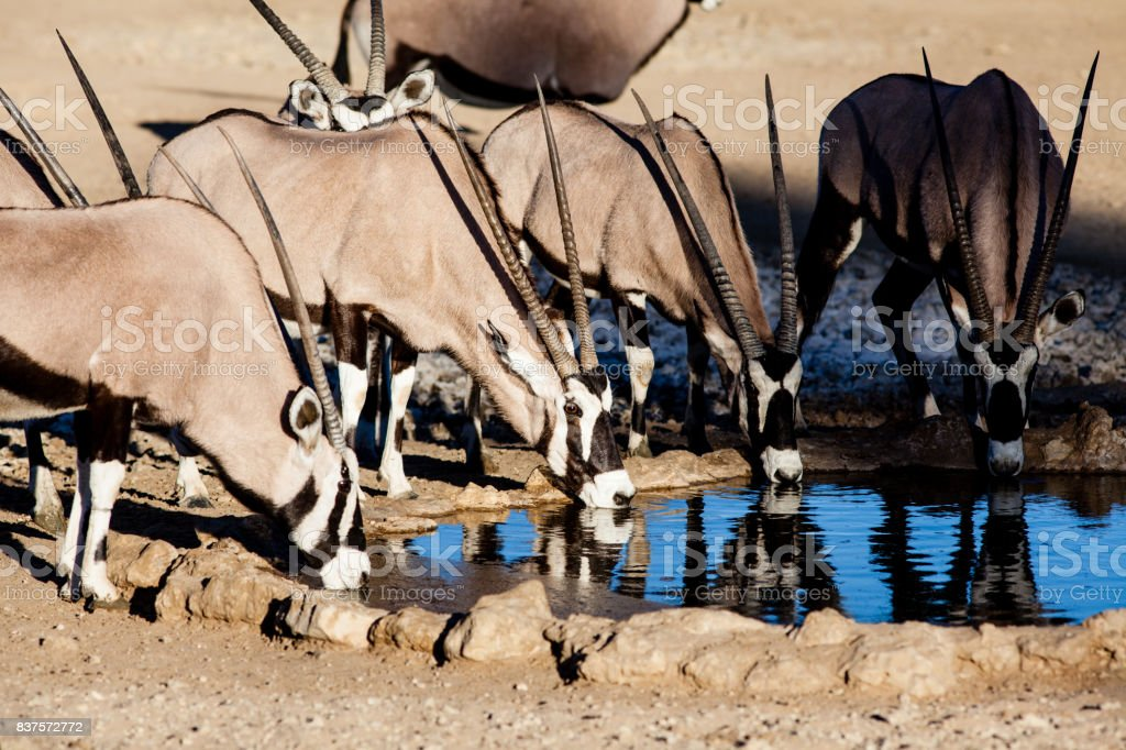 Gemsbok drink from a waterhole in the Kalahari, South Africa stock photo