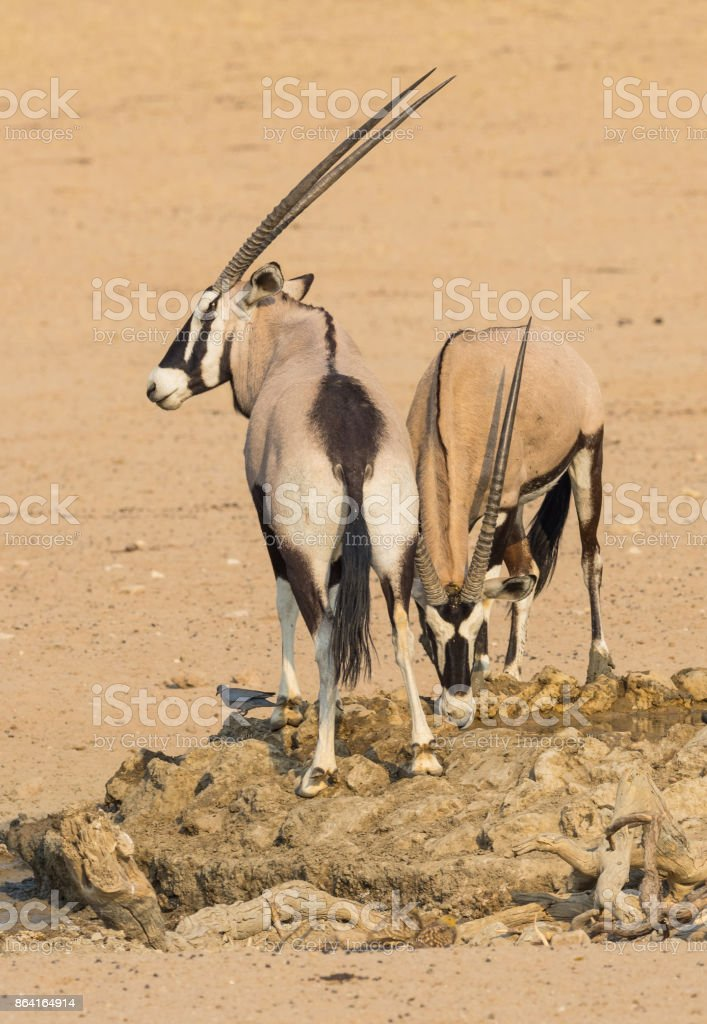 Gemsbok Drinking royalty-free stock photo